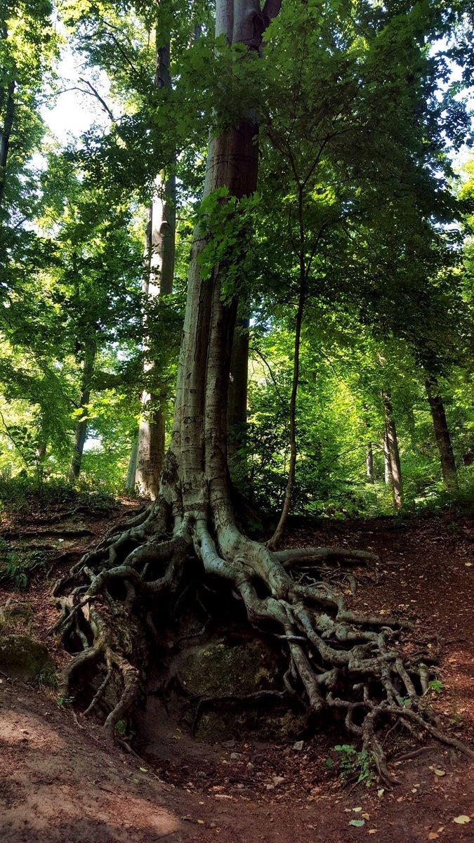 A Zsivány-sziklák egyik látványossága ez a fa