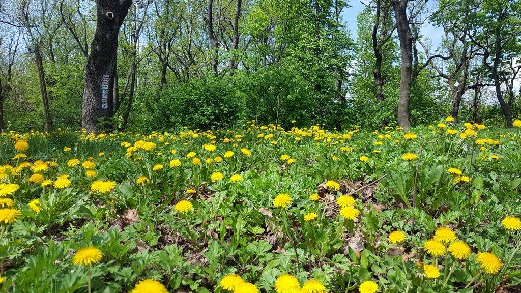Tavaszi pitypang-mező
