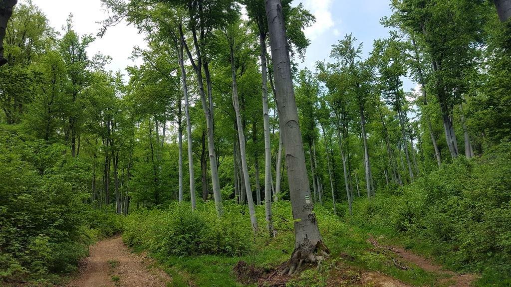 Csodálatos, magas bükkfa erdőben haladunk