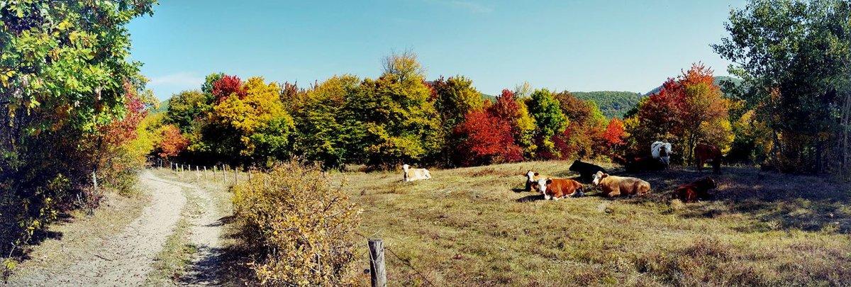 Eltekerünk a tehenek mellett