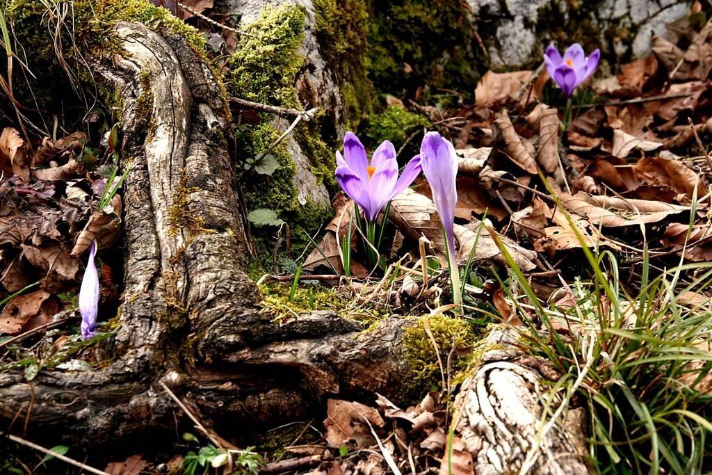Tavaszi kikerics a Kamnik völgyben