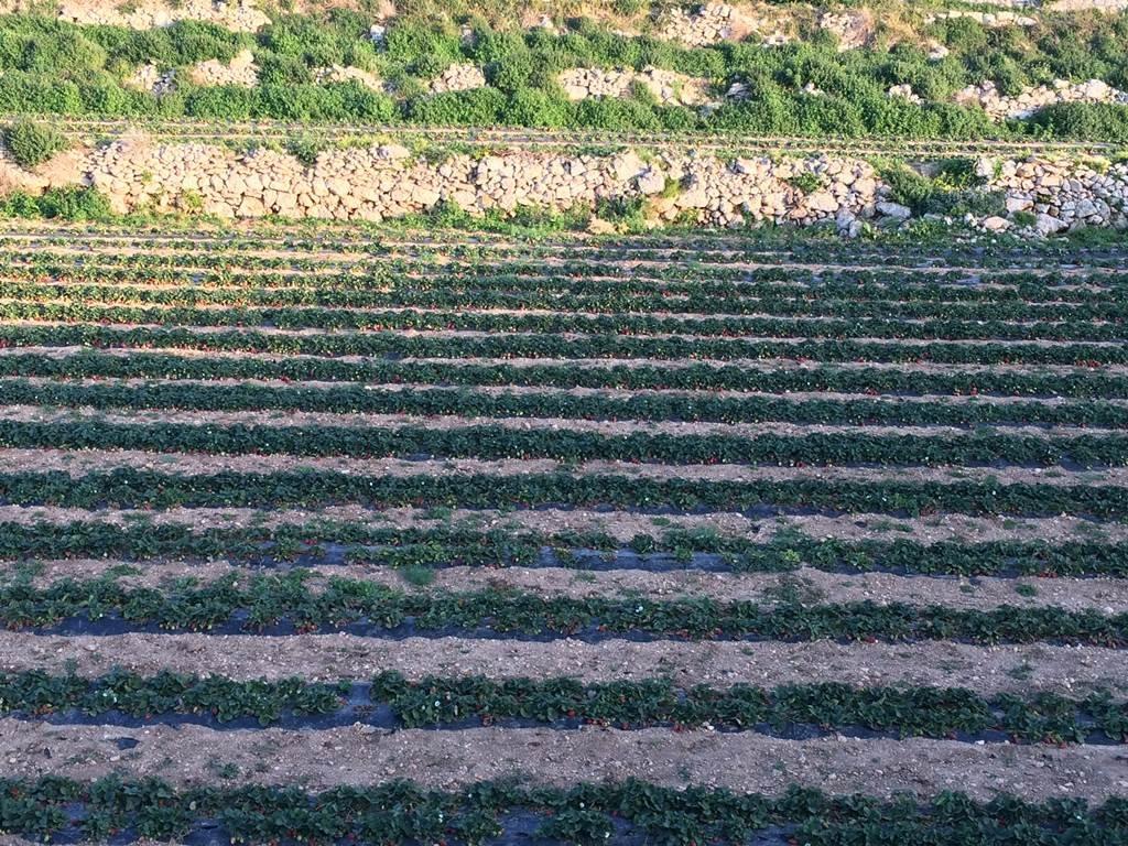 Brigi kedvencéből, az eperből Máltán rengeteg terem!