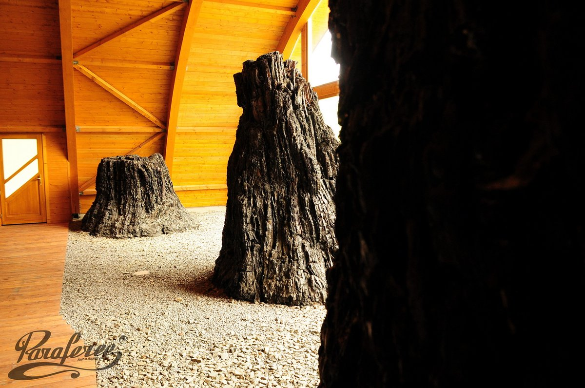 Már biztonságos helyen a Bükkábrányban talált mammutfenyő törzsek