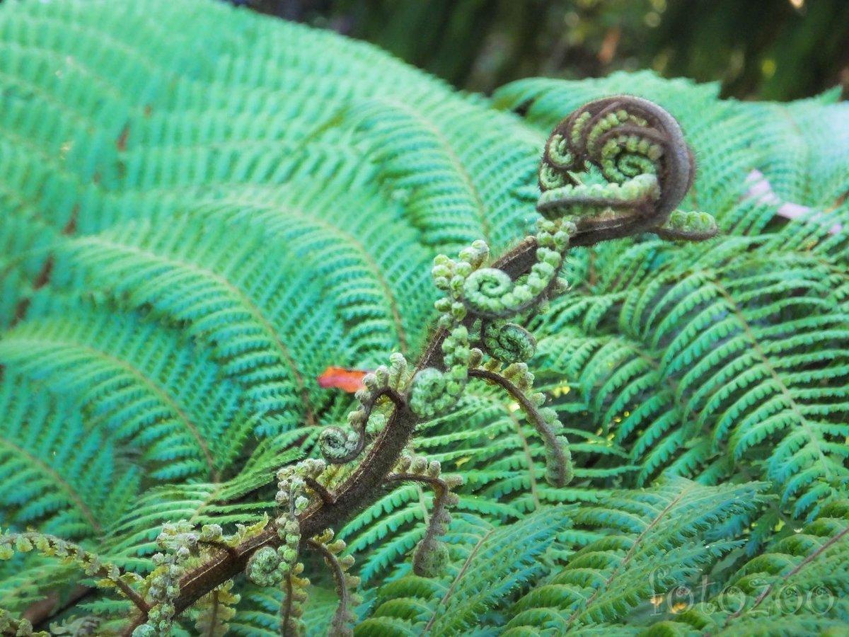 Új-Zéland emblematikus növénye – a páfrány. Többek közt a rögbiválogatott jelképe is.