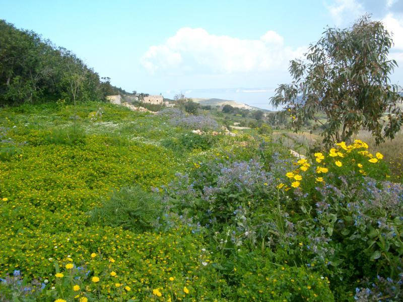 Vadvirágos mező tavasszal az út mentén