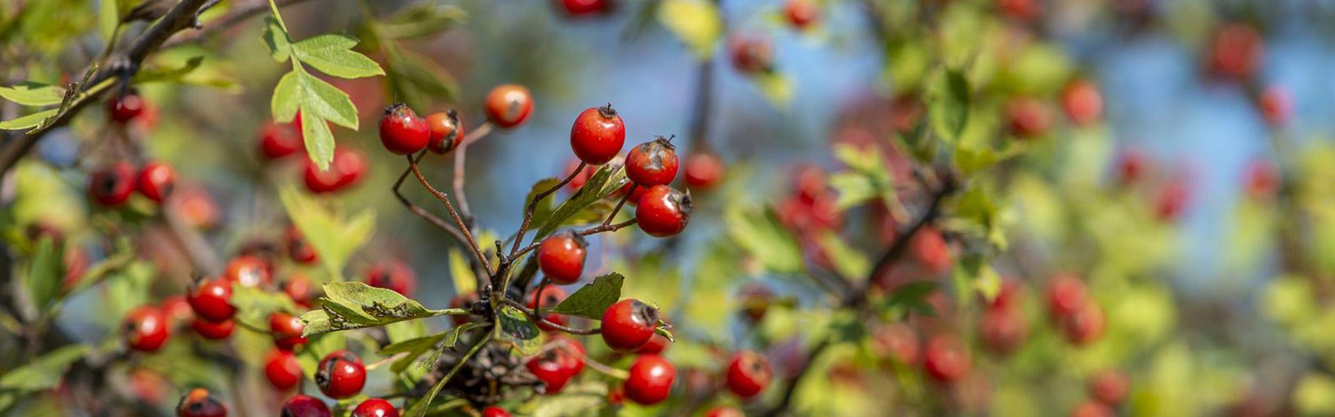 Őszi erdő gyümölcsei a Pilisi Parkerdőben
