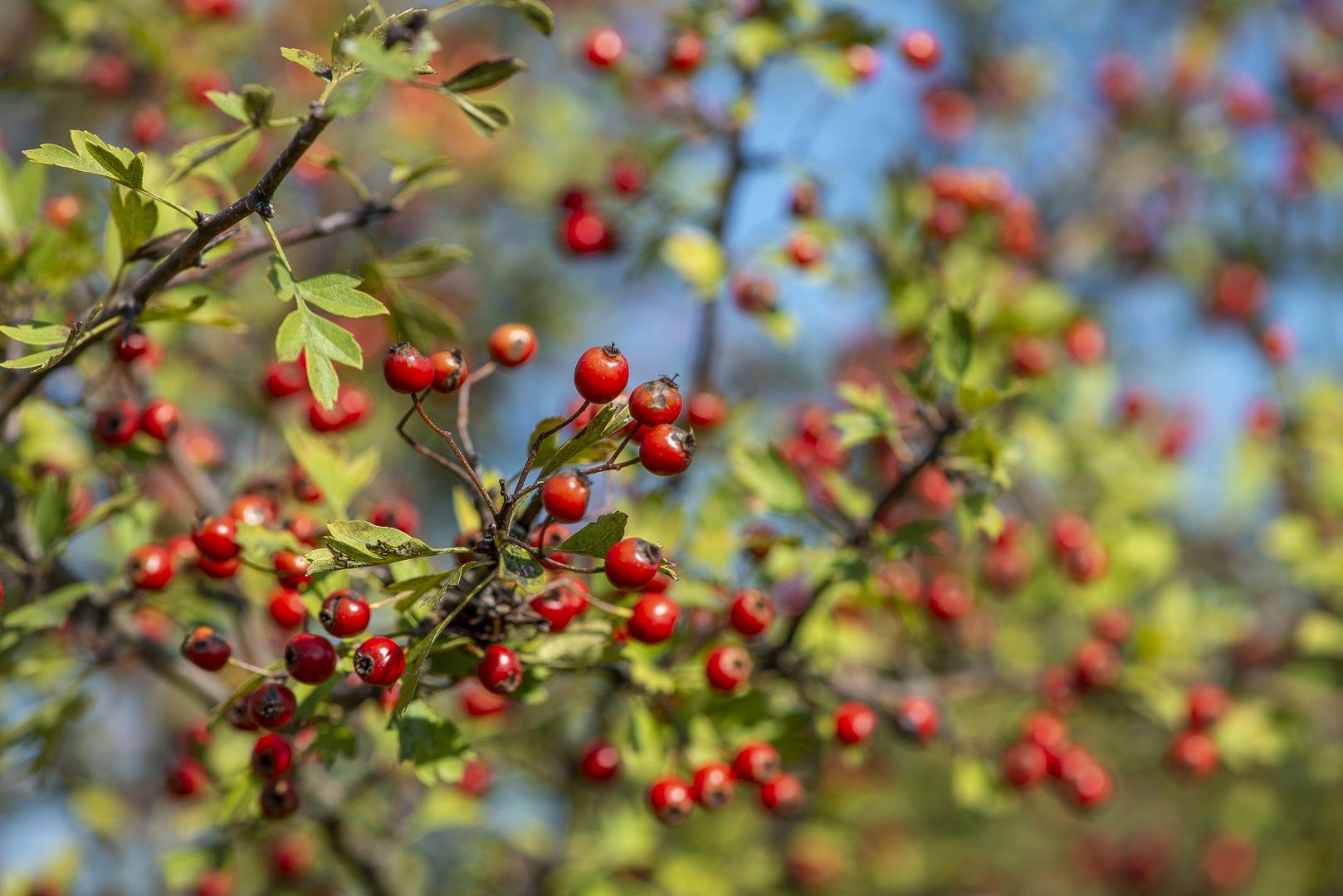 Őszi erdő gyümölcsei a Pilisi Parkerdőben-3