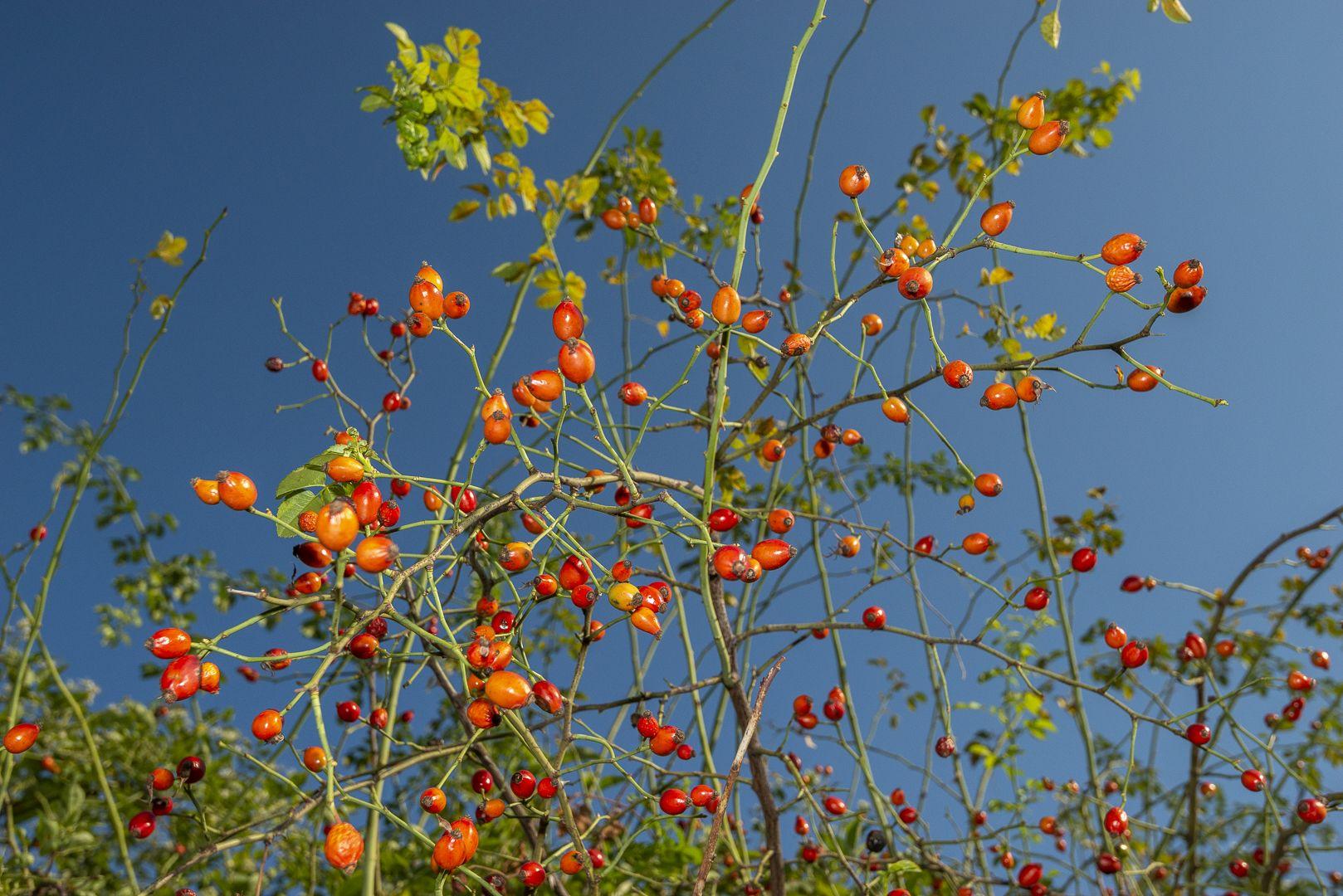 Őszi erdő gyümölcsei a Pilisi Parkerdőben-2